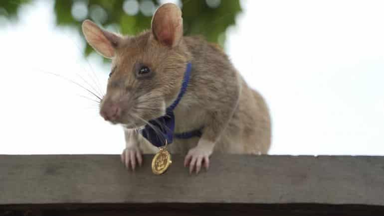 Altın madalyalı sıçan Magawa