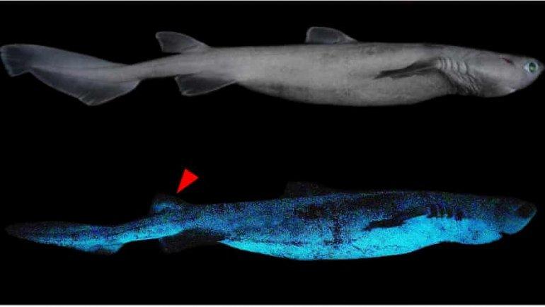 Parlayan köpekbalığı görüntülendi