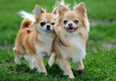 Hangi köpekler daha saldırgan?
