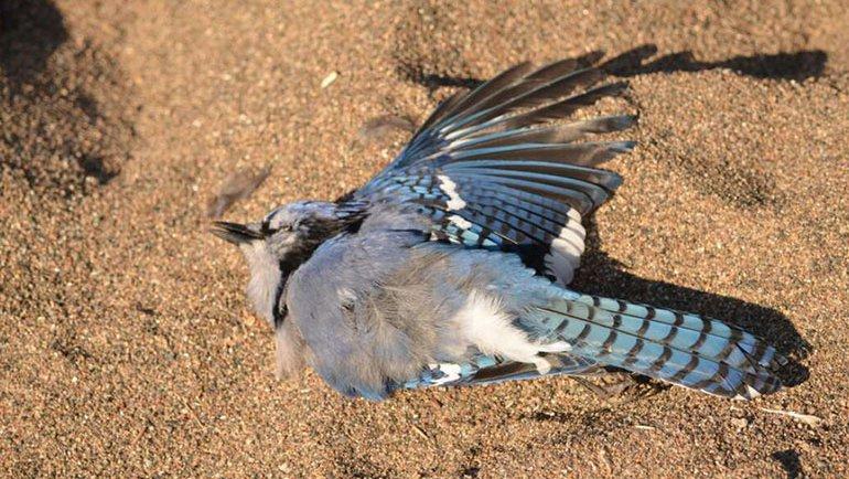 Bu kuşlar neden ölüyor?