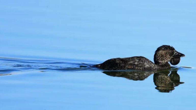 Küfür eden ördek herkesi şaşırtıyor
